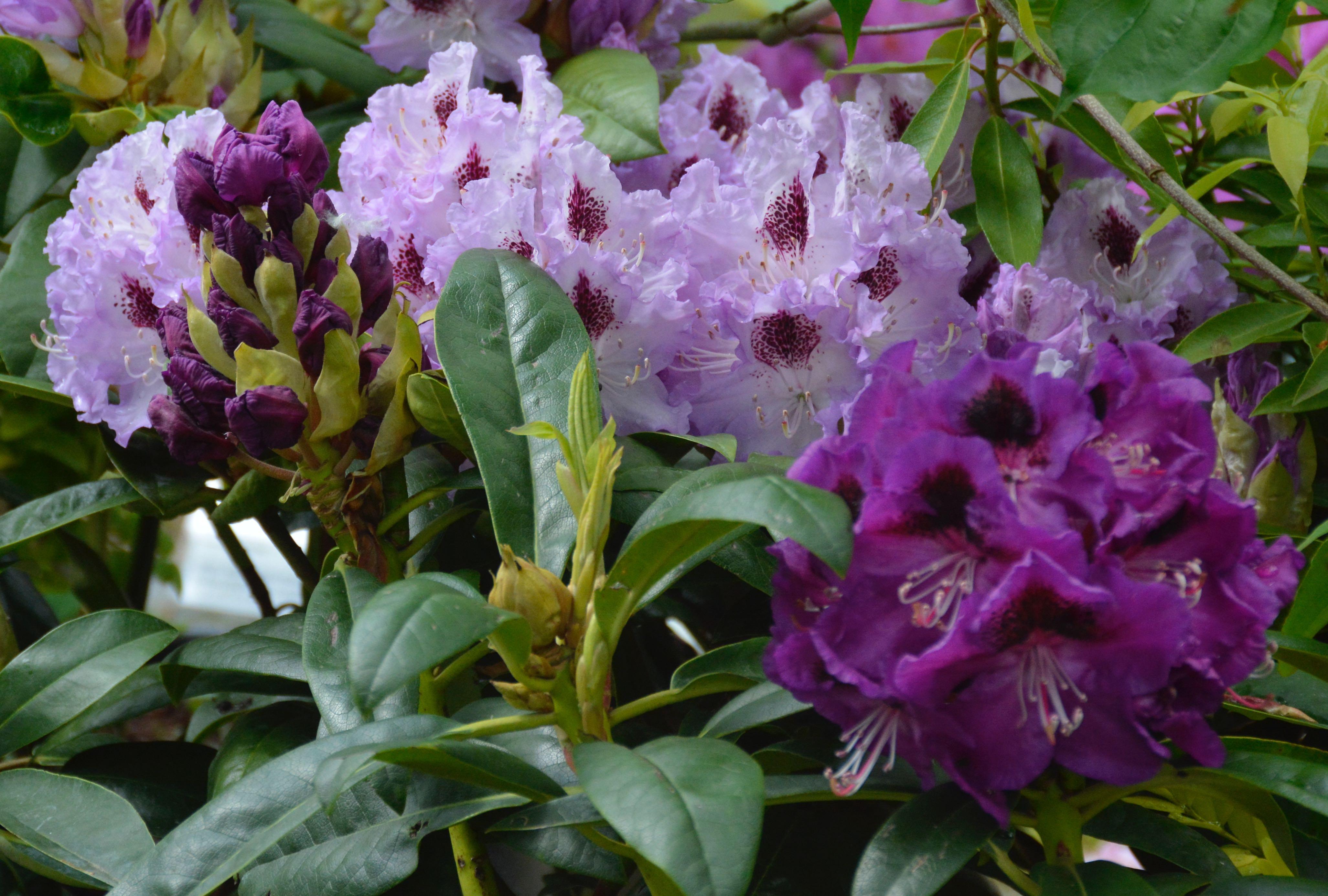 R. 'Blue Peter' i blomst og R. 'Blaue Jungs' i udspring.